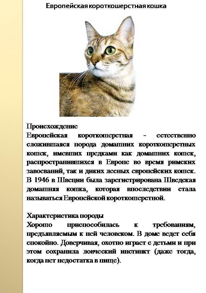 Анатолийская кошка: характер и внешность питомца, особенности ухода и содержания