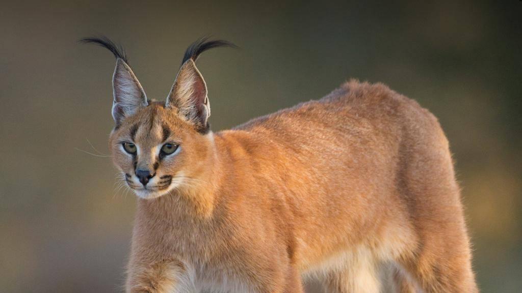 Породы кошек с кисточками на ушах: полный список (+фото)