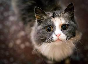 Блохи у кота: избавление питомца от паразитов