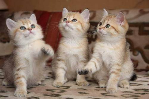 Вязка британских кошек: правила