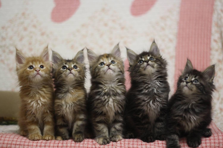 Чем кормить котенка мейн-куна? правильное питание в 1 и 2 месяца, кормление и уход в 3 и 4 месяца. что лучше всего едят котята породы мейн-кун?