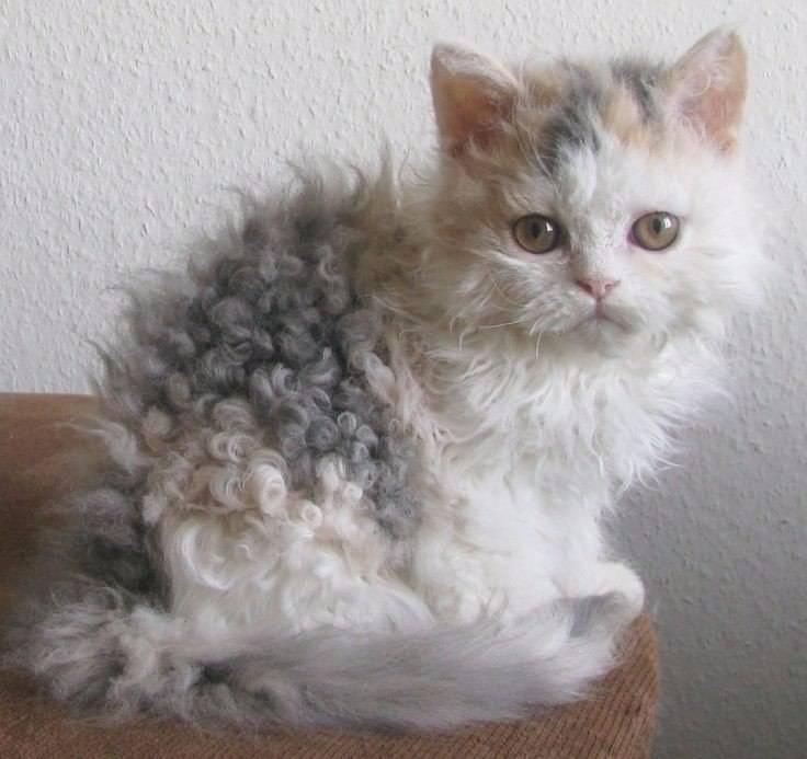 Кудрявые кошки: порода породе рознь