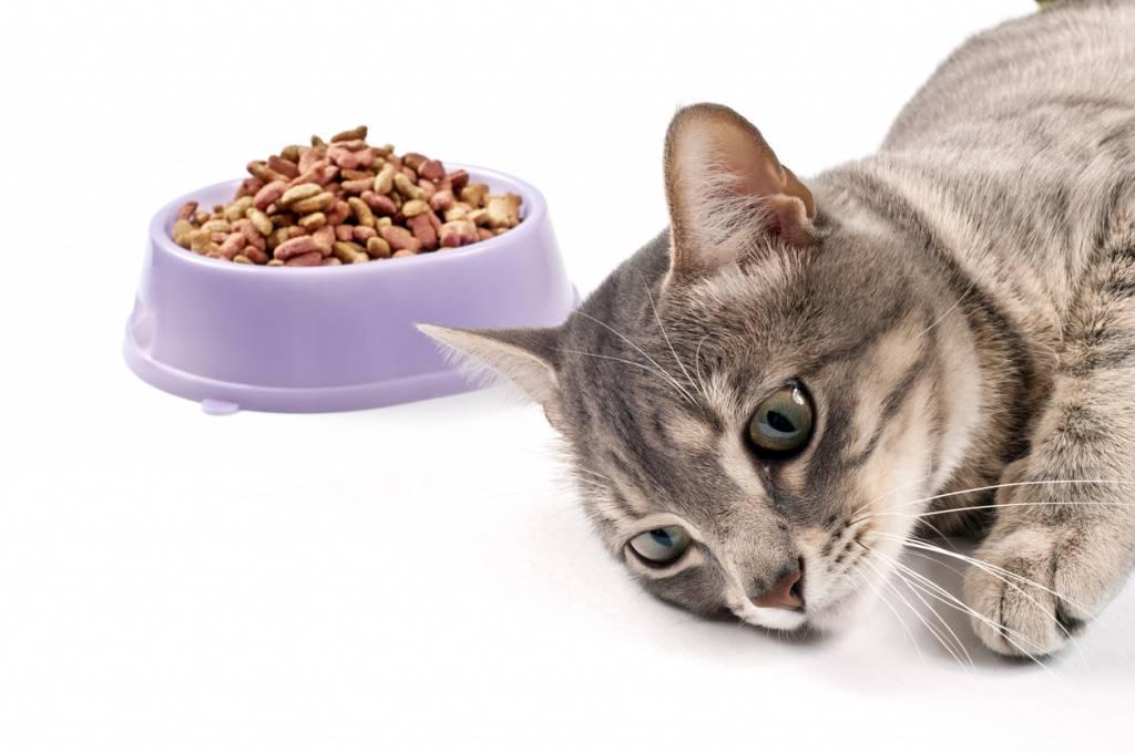 Что делать, если кошка не ест: причины проблемы и что нужно делать