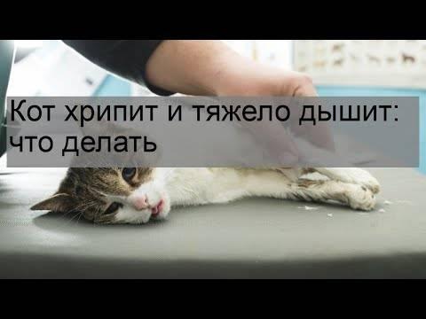 У кошки учащенное дыхание: причины, первая помощь, как восстановить дыхание животного