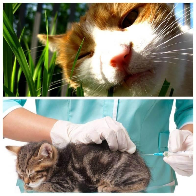 Рвота у кошки: причины и лечение