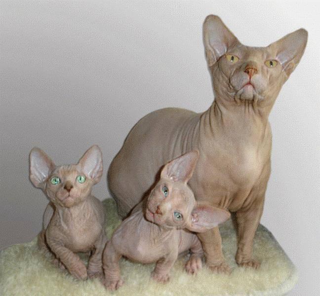 Интересные факты о кошках сфинксах | vivareit