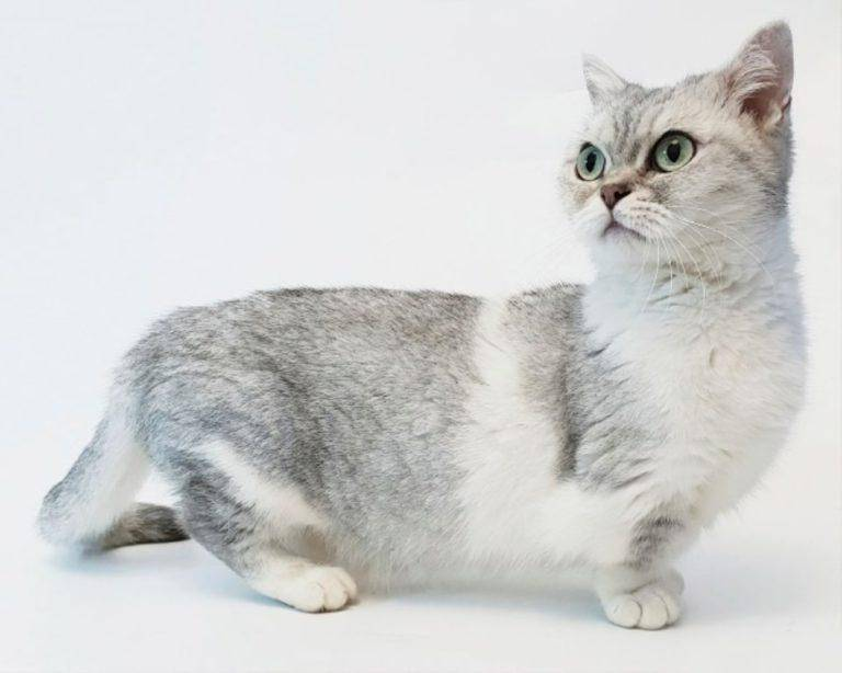 Манчкин — обаятельная порода кошек с короткими лапами