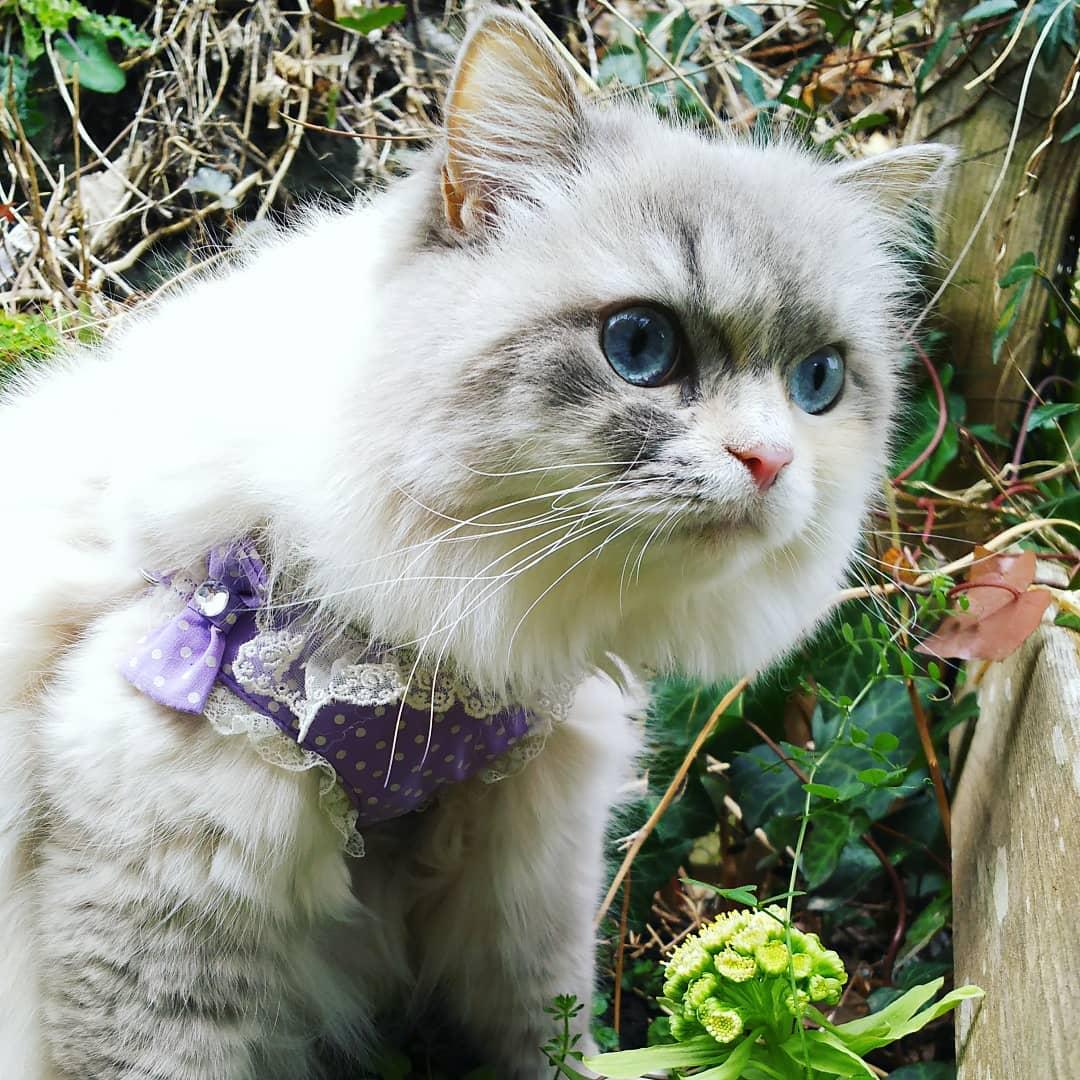 Рагамаффин: порода кошек и цена на котят в россии