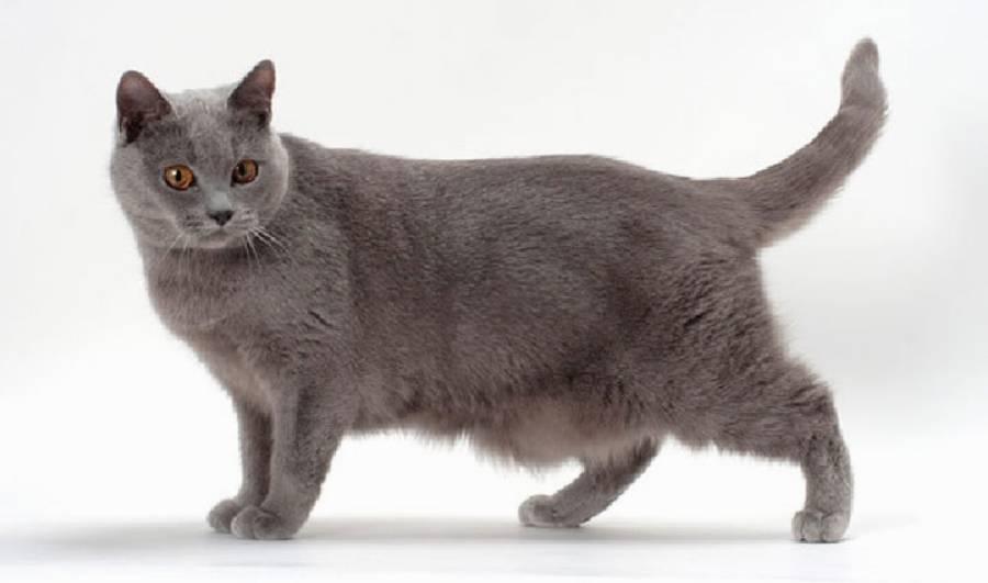 У кошки висит кожа на животе: причины отвисания у котов шотландской, британской и других пород