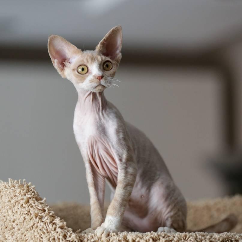 Девон рекс - все о породе от а до я. топ-100 фото красивой кошки, отзывы, характер, содержание, интересные факты