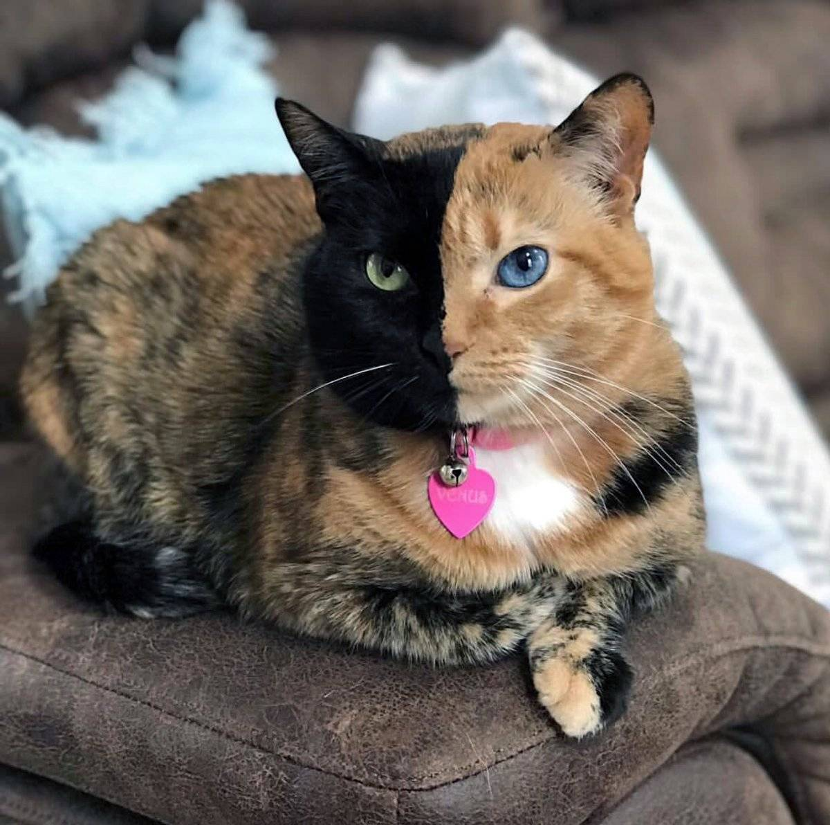 Гладкошёрстные кошки: названия, фото, описание (50 пород)