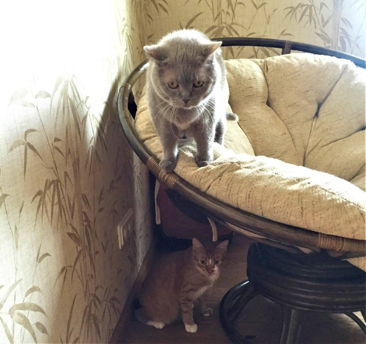 """Кого лучше завести дома – кота или кошку?   блог ветклиники """"беланта"""""""