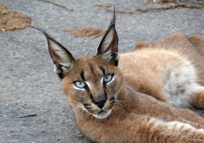 Домашняя рысь и похожие на неё кошки