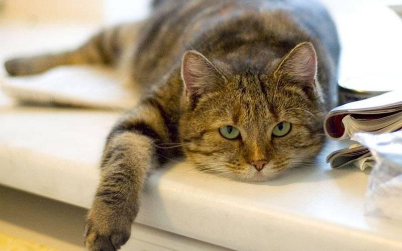 Почему кот ничего не ест, сильно похудел и ослабел: лечение и симптомы