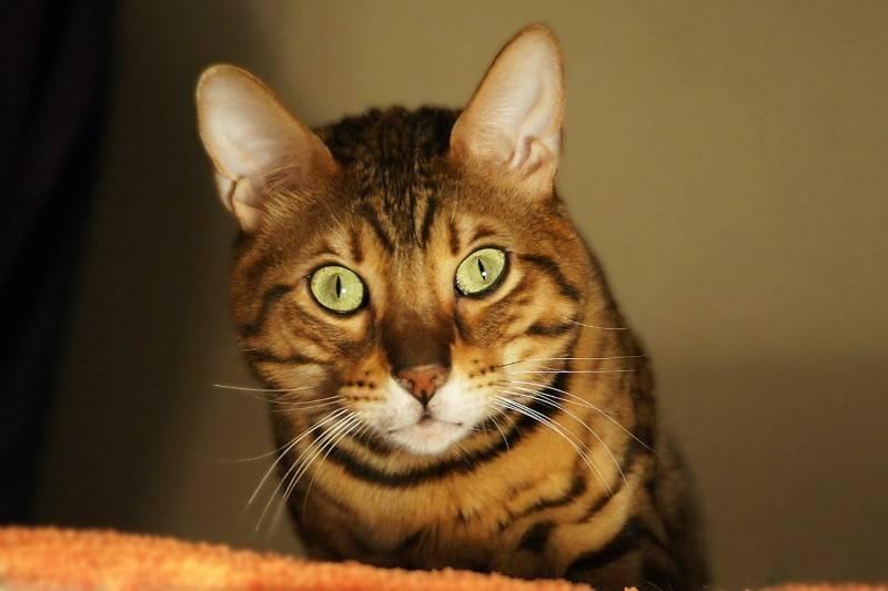 Когда начинать и до какого возраста можно кастрировать котов?