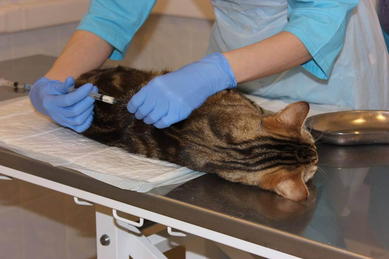 Как подготовить кошку к стерилизации: советы ветеринара по подготовке животного к операции