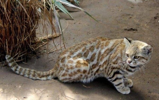 Андская кошка: описание породы, характер и повадки, места обитания, содержание в неволе, фото