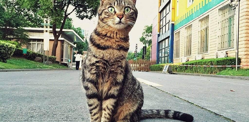 Сколько живут кошки британской породы?