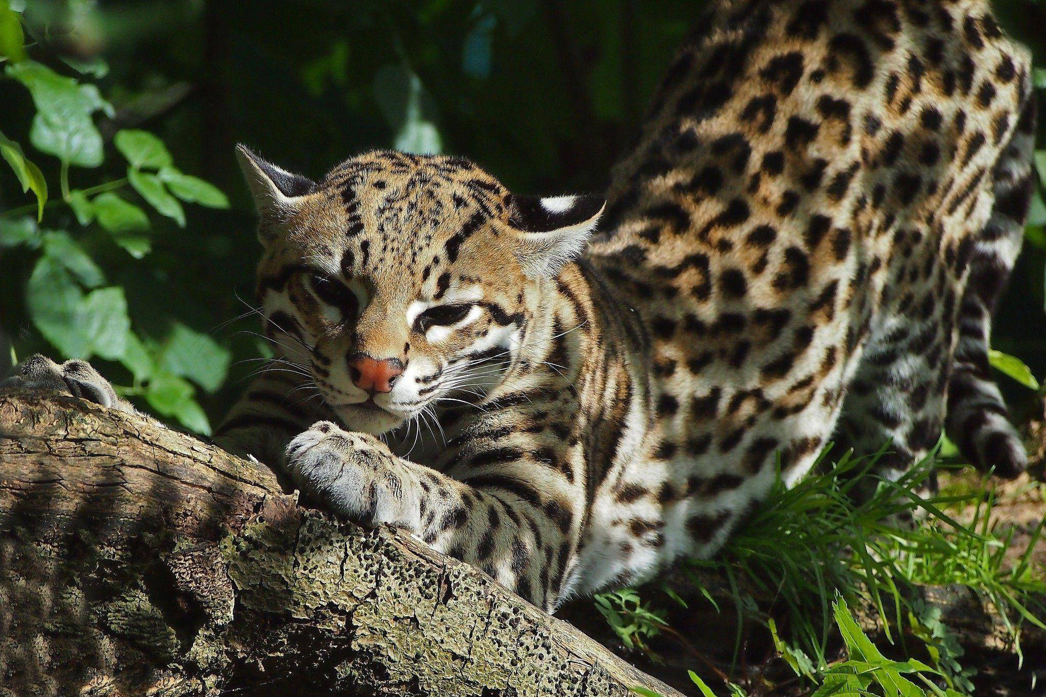 Европейский дикий лесной кот: описание характера и внешности степной кошки, фото дальневосточного питомца, уход и содержание