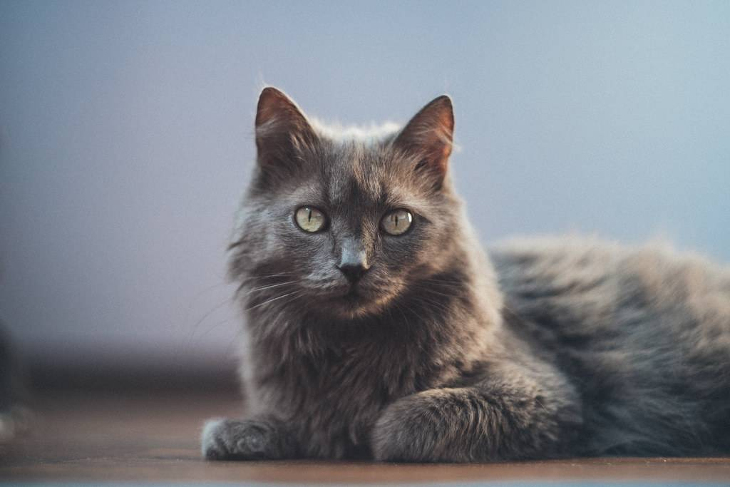 Русская голубая порода кошек – описание и внешний вид, характер и поведение, содержание и кормление