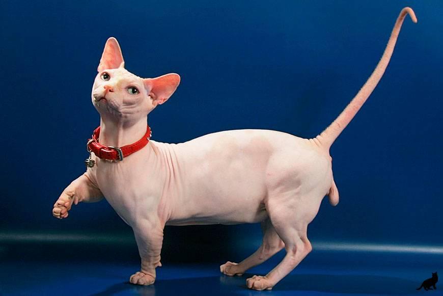 Бамбино — описание породы и характер кошки