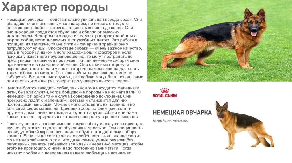Одна из самых быстрых собак в мире – уиппет