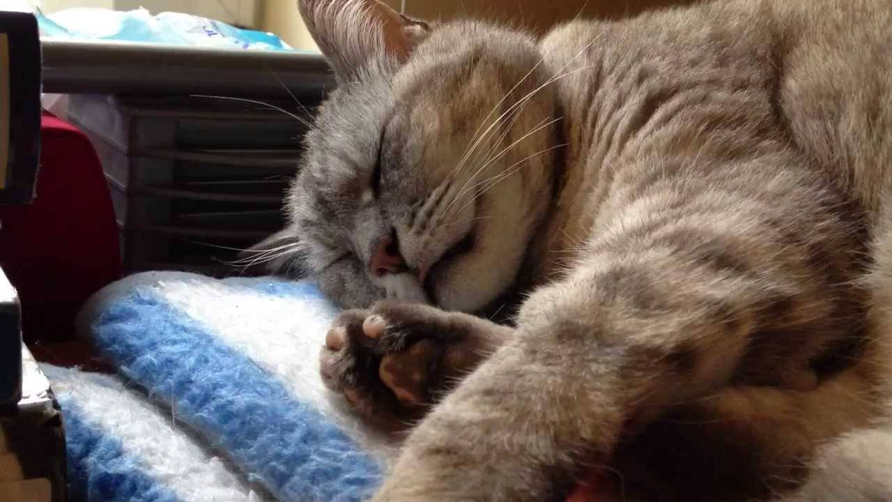 Почему кошка храпит и что делать. отчего кошка храпит во сне?
