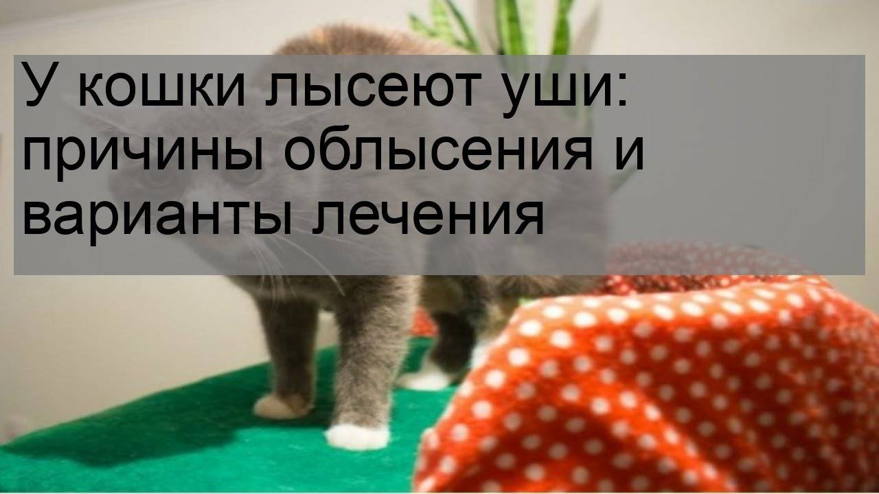 На ушах у кота выпадает шерсть