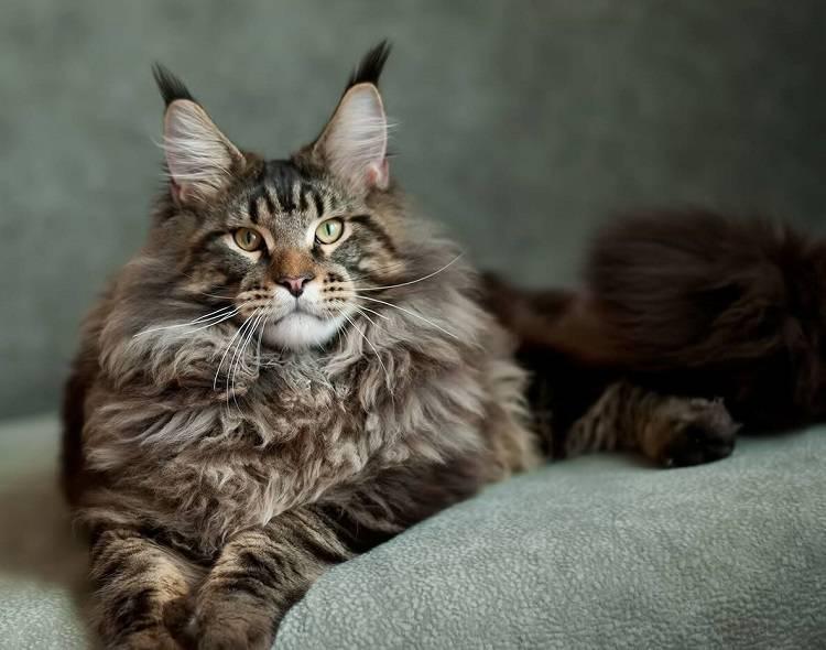 Порода кошек мейн-кун: описание, фото, размеры, характер, условия содержания, уход