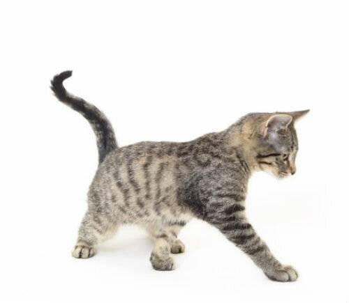 Симптомы наличия власоедов у кошек с фото, лечение триходектозов в домашних условиях, средства против эктопаразита