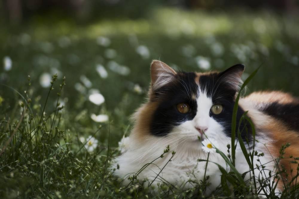 Трехцветные кошки — топ-5 пород