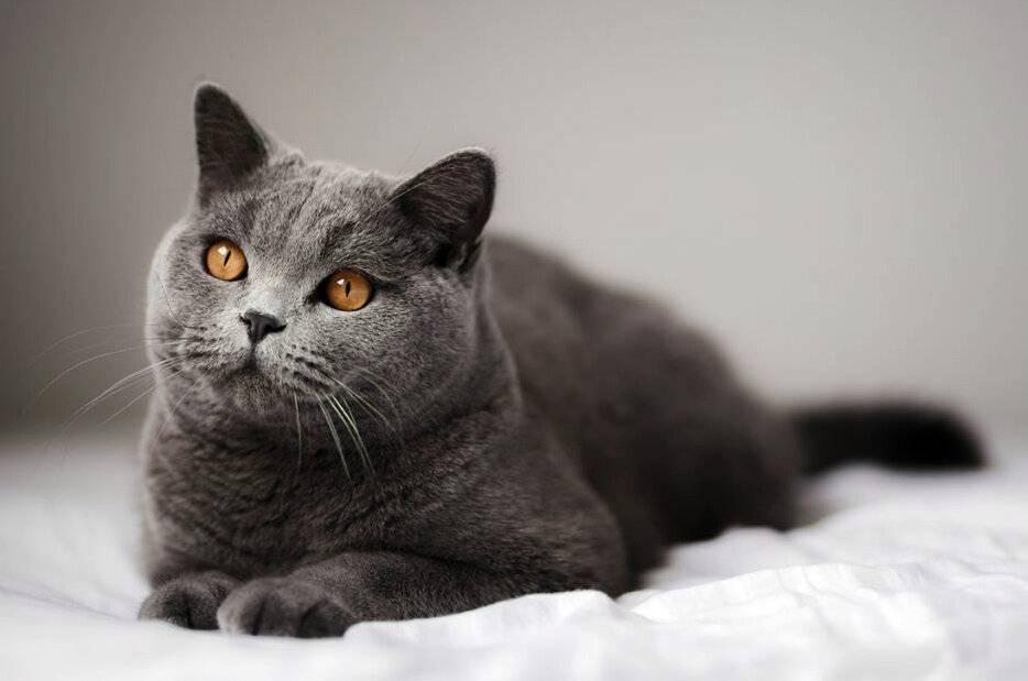 Кошка серой породы — характер и повадки