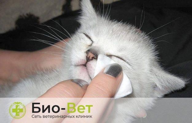 У вислоухого котенка слезятся глаза что делать