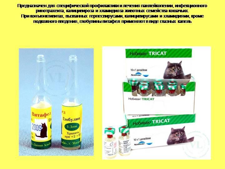 Лечение ринотрахеита у кошки: как передается, опасен ли для людей