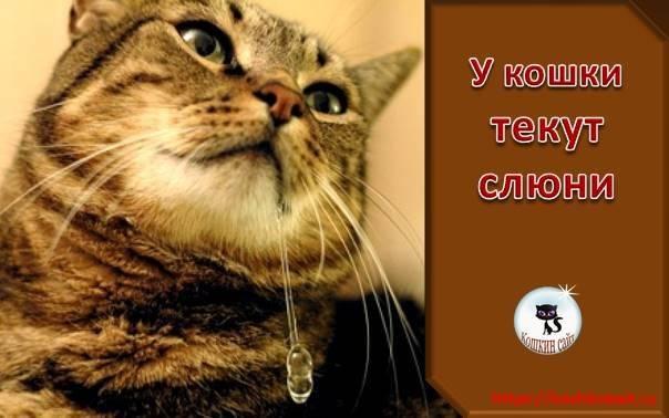 Кошка чавкает и текут слюни. почему у кота текут слюни, прозрачные, как вода, каплями