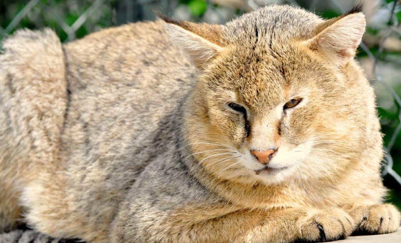 Камышовый кот: дикий и домашний хаус