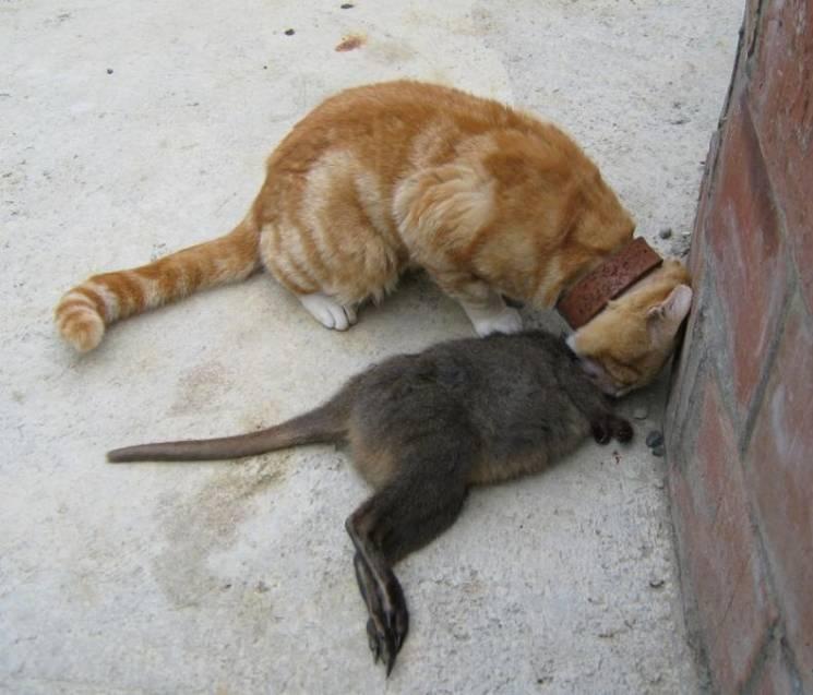 Будет ли кошка ловить мышей после стерилизации?