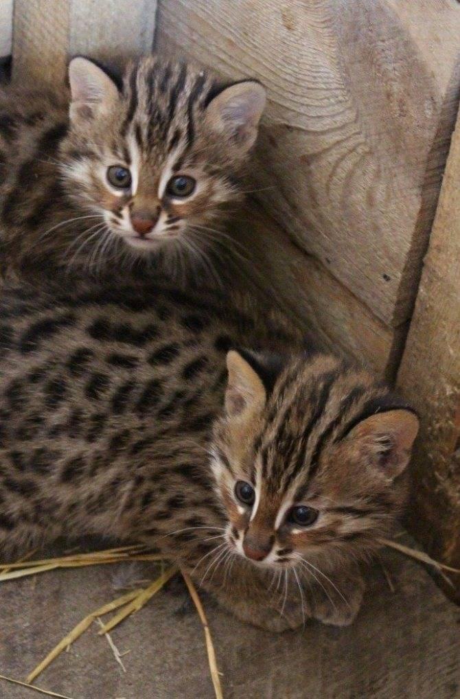 Лесные коты
