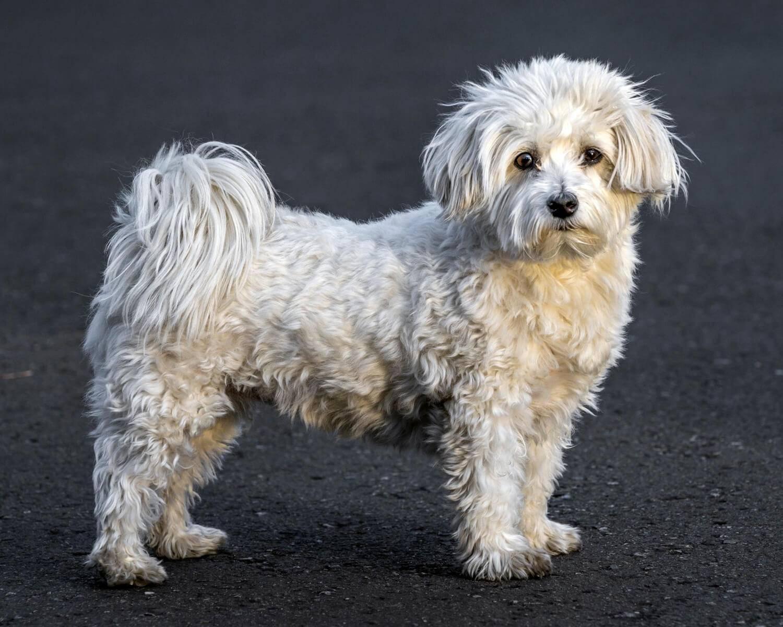 Порода собак гаванский бишон: характеристика хаванеза, особенности ухода и содержания кубинского havanese