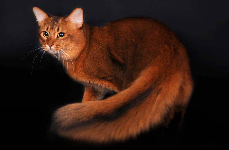 Сомалийская кошка (сомали) - описание породы и характера