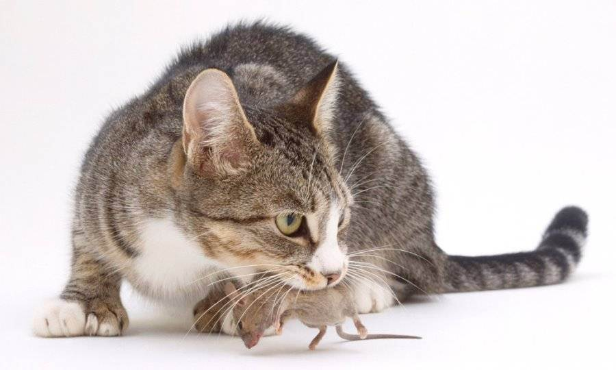 Декоративные кошки ловят мышей?