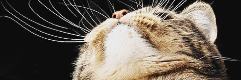 Почему у котов и кошек ломаются усы: что делать?