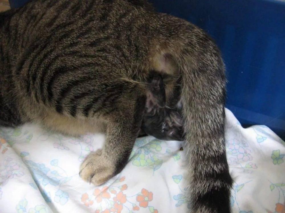 Сколько котят может родить кошка в первый раз и за всю жизнь, от чего зависит их количество?