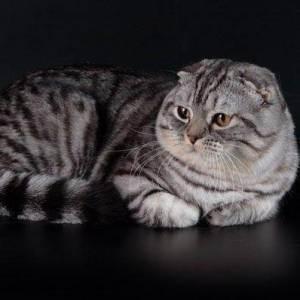 Котята шотландские когда ложатся уши у шотландских котят