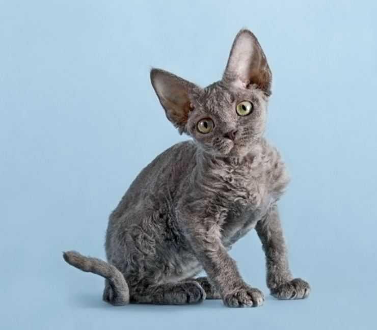 Девон-рекс: фото и описание породы кошек (характер, уход и кормление)