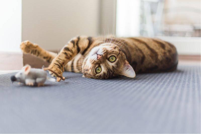 Возможные причины, почему у кота или кошки сухой нос