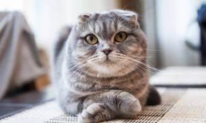 Когда у породистых кошек начинается первая течка?