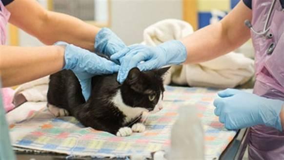 Подготовка кота к кастрации и послеоперационный уход - муркин дом