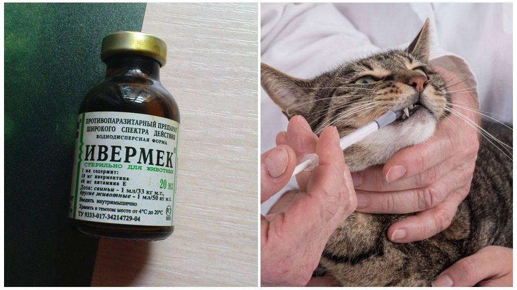Ивермек для кошек: применение в ветеринарии, инструкция к препарату, лечение ивермектином паразитов, отзывы и аналоги