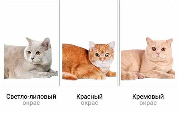 Шотландские вислоухие и прямоухие котята, знакомство с видами выбор и уход за питомцем